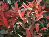 認識植物2.0 (59) 長:長虹木dv9161.JPG