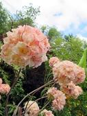 認識植物(67) 圓塊奧幹愛愷:圓球杜鵑xx02.jpg