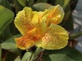 認識植物(69) 當痲矮碎碗稗稜節粳群義聖:矮性美人蕉bu3937.JPG