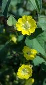 認識植物2.0 (34) 兵冷卵君含:卵葉菜欒藤xx03.jpg