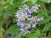 植物隨手拍 BP:懸星花bp9701.JPG
