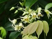 認識植物2.0 (22) 皮矢石禾立:石月xx01.jpg