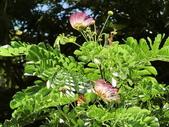認識植物2.0 (61) 雨青:雨豆樹ax3603.JPG