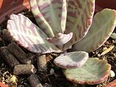 植物隨手拍 BP:蝴蝶之舞bp6104.JPG