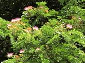 認識植物2.0 (61) 雨青:雨豆樹ax3615.JPG