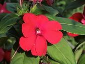植物隨手拍CW:超級鳳仙cv8574.JPG