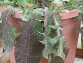 植物隨手拍EI:台灣蒲公英ei9117.JPG