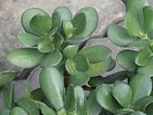 植物隨手拍 BP:樹馬齒莧bp7022.JPG