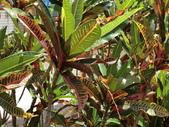 植物隨手拍EI:長葉變葉木ei0361.JPG