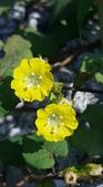 認識植物2.0 (34) 兵冷卵君含:卵葉菜欒藤xx02.jpg