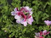 認識植物2.0 (68) 指星映春:星光天竺葵 v5096.JPG