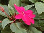 植物隨手拍CW:超級鳳仙cv9014.JPG