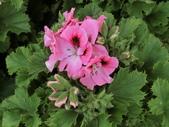 認識植物2.0 (68) 指星映春:星光天竺葵 v8591.JPG