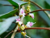 認識植物2.0 (70) 柊柏柚柳:柏拉木xx04.jpg