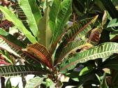 植物隨手拍EI:長葉變葉木ei0366.JPG