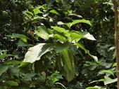 認識植物2.0 (70) 柊柏柚柳:柚子cq5620.JPG