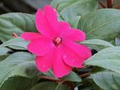 植物隨手拍CW:超級鳳仙cv9018.JPG