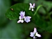 認識植物(58) 寒戟掌提散敦斐斑:戟葉蓼xx03.jpg