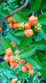 認識植物2.0 (30) 米羊羽老考:羊角藤xx03.jpg