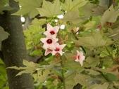 認識植物2.0 (68) 指星映春:星花酒瓶樹xx03.jpg