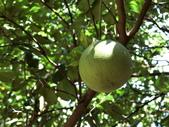 認識植物2.0 (70) 柊柏柚柳:柚子cq5621.JPG