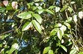 認識植物2.0 (70) 柊柏柚柳:柳氏懸鉤子xx01.jpg