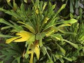 認識植物(58) 寒戟掌提散敦斐斑:戟葉變葉木cn3272.JPG