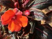 認識植物(68) 新椰椴楊楓極榆榔滇煉煙猿獅瑞:新幾內亞鳳仙花aj5674.JPG