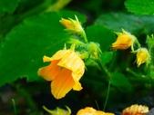 認識植物2.0 (61) 雨青:青牛膽xx01.jpg