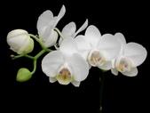 蝴蝶蘭照片欣賞 :W01-046b.JPG