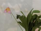 認識植物(60) 猢猩猴琴番畫短硬筆筑:猴面小龍蘭dg0634.JPG