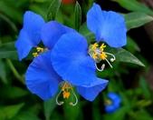 認識植物2.0 (31) 耳肉肋舌舟艾:耳葉鴨跖草xx04.jpg