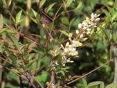 認識植物2.0 (63) 南:南天竹ab1254.JPG