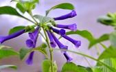 認識植物2.0 (59) 長:長筒藍蔓陀羅xx03.jpg
