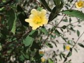 植物隨手拍 L:金午時花 L5367.JPG