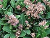 認識植物(50) 高鬼偃假:高士佛赤楠 L8516.JPG