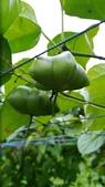 認識植物2.0 (68) 指星映春:星果藤xx01.jpg