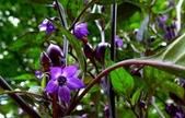 認識植物(66) 黑:黑王子辣椒xx02.jpg