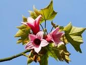 認識植物2.0 (68) 指星映春:星花酒瓶樹xx02.jpg