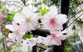認識植物2.0 (69) 昭枯枳枸柃:昭和櫻xx03.jpg