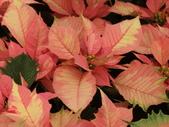 認識植物2.0 (24) 冰列印合吉:冰火聖誕紅bj1489.JPG
