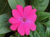 植物隨手拍CW:超級鳳仙cv7551.JPG