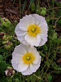 認識植物2.0 (24) 冰列印合吉:冰島罌粟xx05.jpg