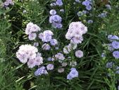 認識植物(61) 紫:紫孔雀ak8814.JPG