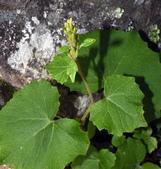 認識植物(65) 黃:黃山蟹甲草zz01.JPG