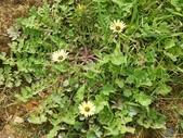 認識植物2.0 (63) 南:南非金盞草xx01.jpg