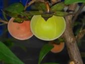 認識植物2.0 (63) 南:南非柿xx01.jpg
