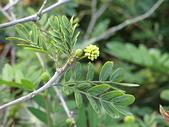 植物隨手拍 BP:白絨球bp1432.JPG