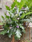 認識植物(61) 紫:紫光茄xx05.jpg