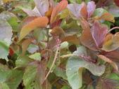 認識植物2.0 (66) 威娃屋屏峇:威氏鐵莧 l6646.JPG